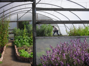 Polytunnel at Bosavern Farm